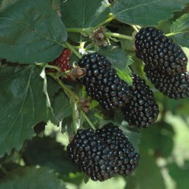 Prime Ark® Freedom Blackberry Plants Fall Bearing