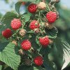Heritage raspberry plants Fall Bearing Raspberry Plants