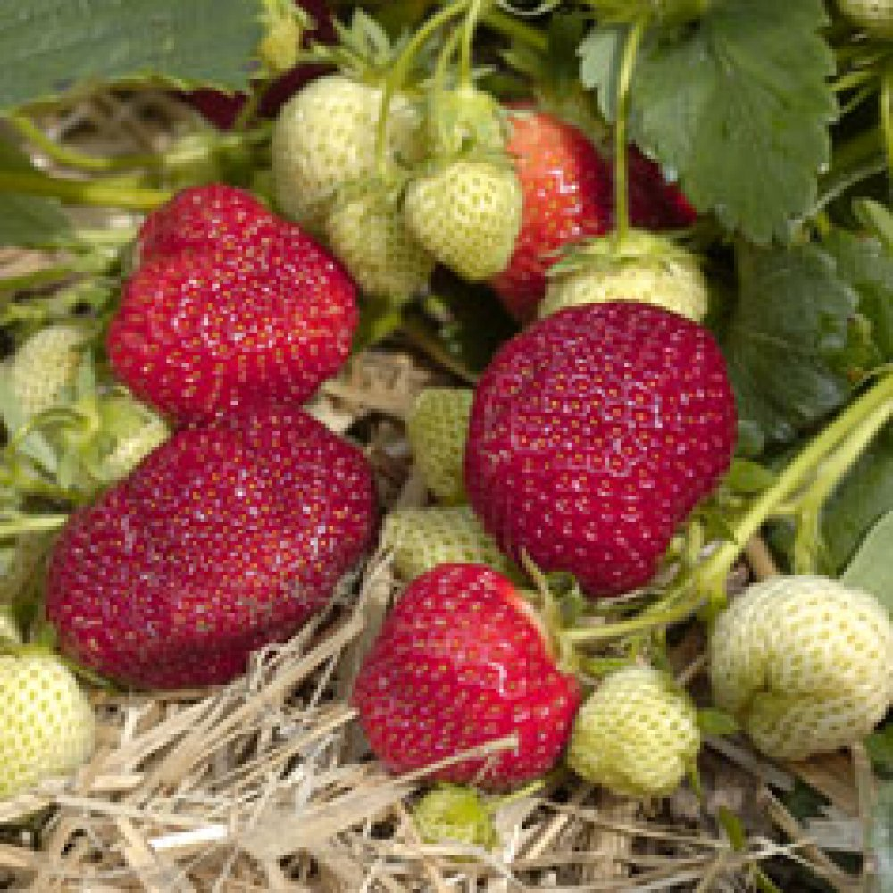 June Bearing (Early Mid Season) Strawberry Plants