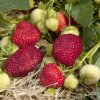 Honeoye strawberry plants June Bearing (Early Mid Season) Strawberry Plants