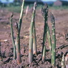 Jersey Knight Asparagus Roots Green Asparagus Roots