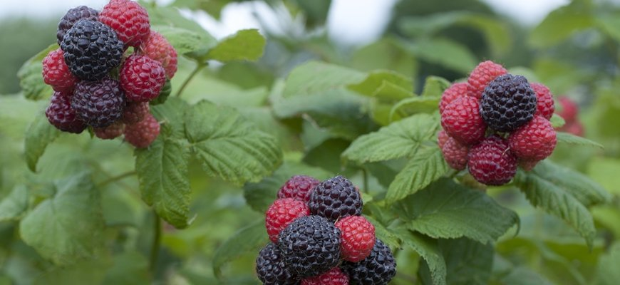 Pictures Of Blackberries Plants