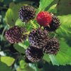 Mac Black raspberry plants Summer Bearing (Late Mid Season) Raspberry Plants
