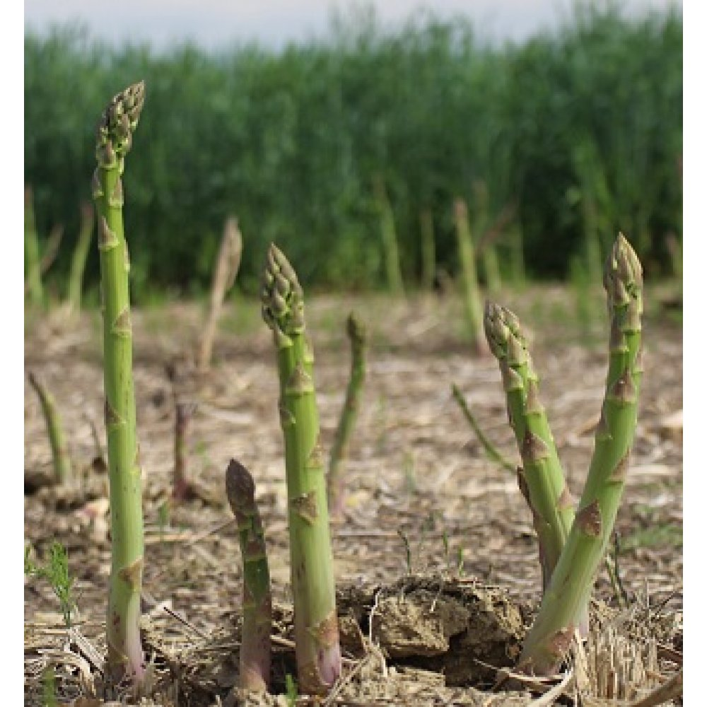 Mary Washington Asparagus Plant