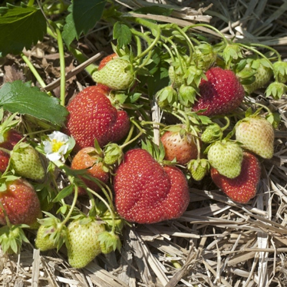 Mayflower June Bearing Late Mid Season Strawberry Plants