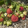 Mayflower strawberry plants June Bearing (Late Mid Season) Strawberry Plants