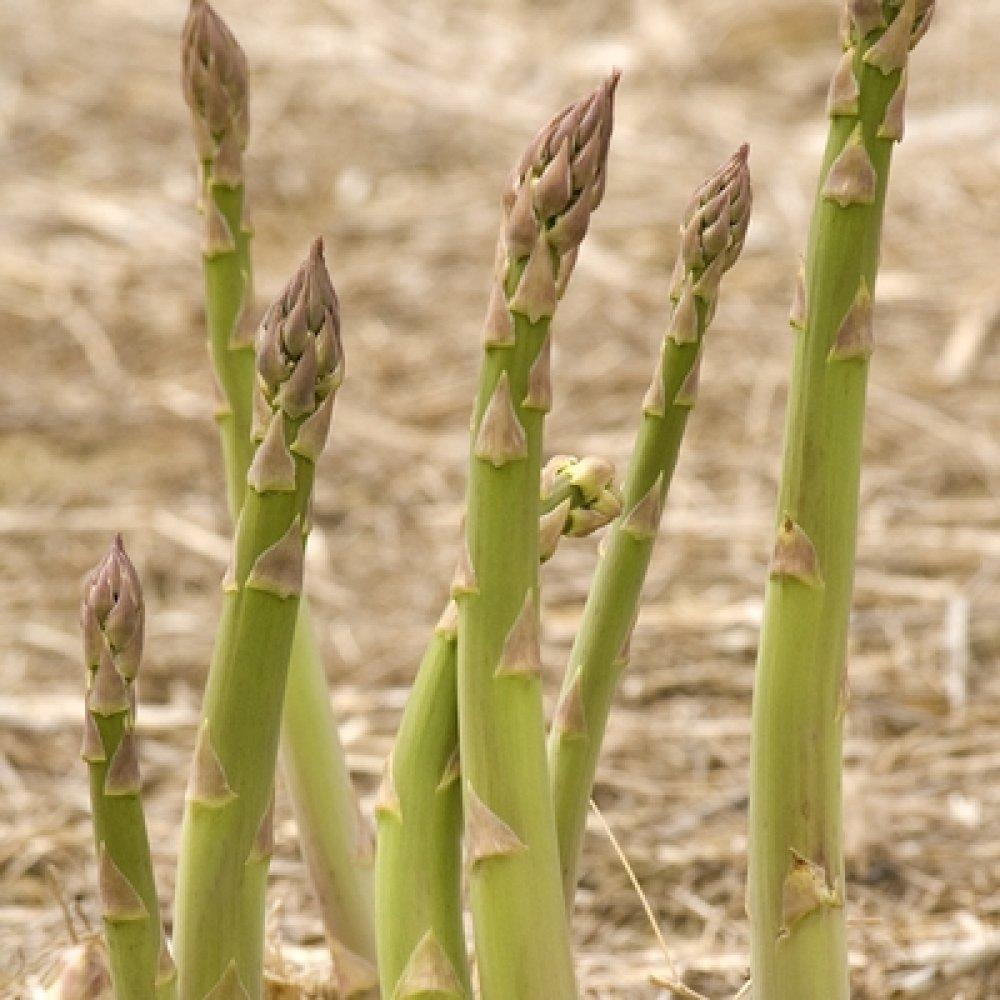 Millennium Asparagus Plant