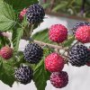 Niwot raspberry plants Fall Bearing Raspberry Plants