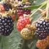 Ouachita Blackberry Plants