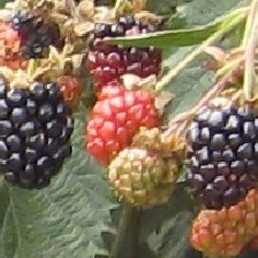 Ouachita Blackberry Plants Summer Bearing