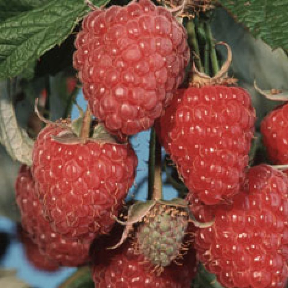 Diseases of raspberries and struggle with them. Raspberry Care 5