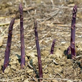 Pacific Purple Asparagus Roots Purple Asparagus Roots