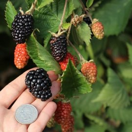 Prime-Ark® Traveler Fall Bearing Blackberry Plants Fall Bearing Blackberry Plants
